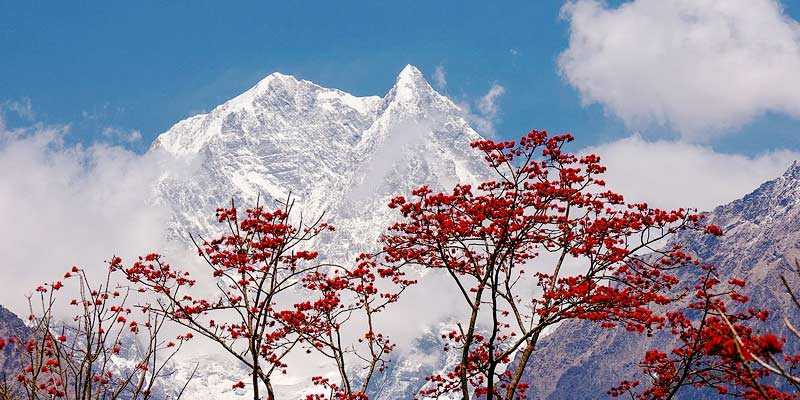 Flowers and himalays during Annapurna Base Camp Trek