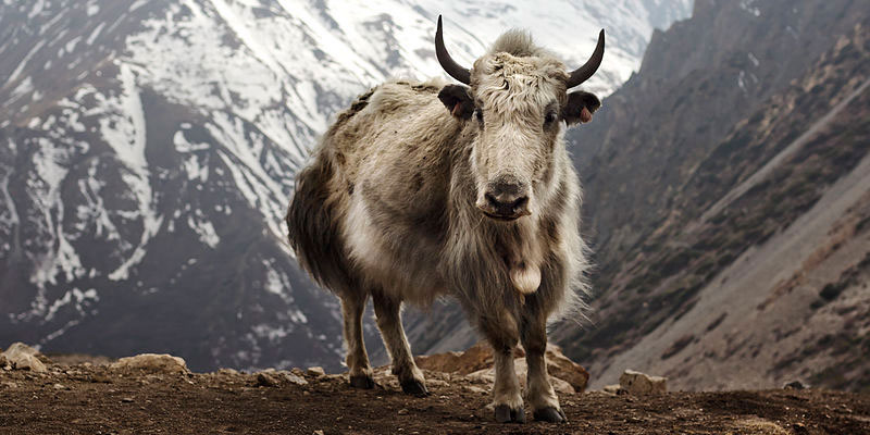 Himalayan Yak during Annapurna Base Camp Trek 2019, 2020